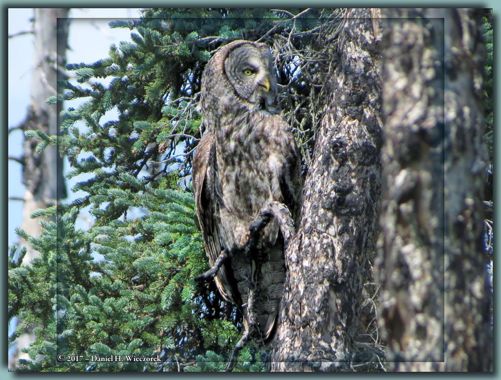 Strix nebulosa - A Great Grey Owl