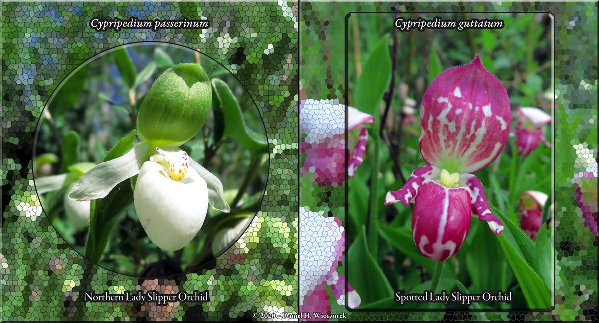 Lady Slipper Orchids - Cypripedium passerinum & C. guttatum