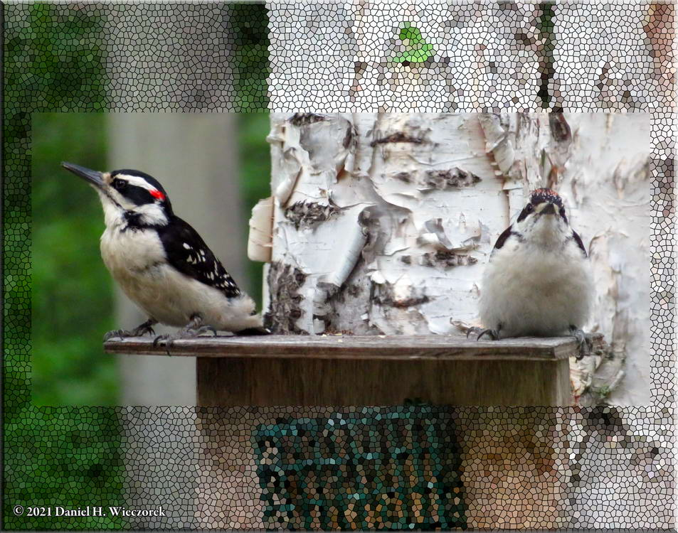 Hairy Woodpeckers - Father and Son