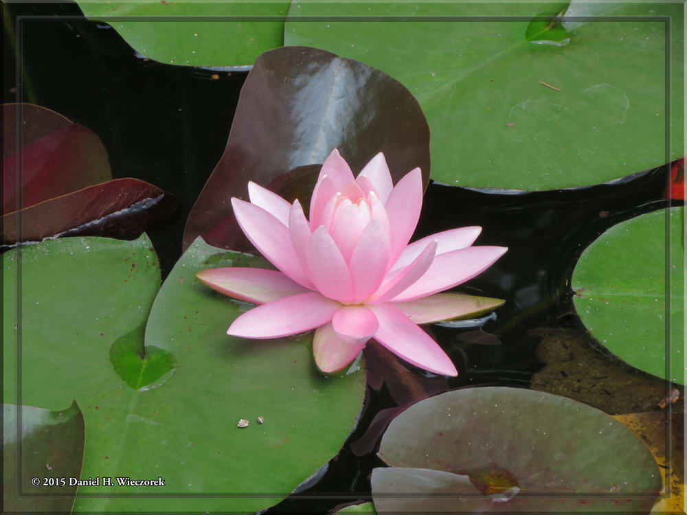 Pink Waterlily - Jindai Botanical Garden.  June 28, 1:40 PM