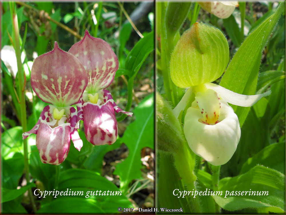 June's Orchids - Lady Slipper Orchids Seen in June