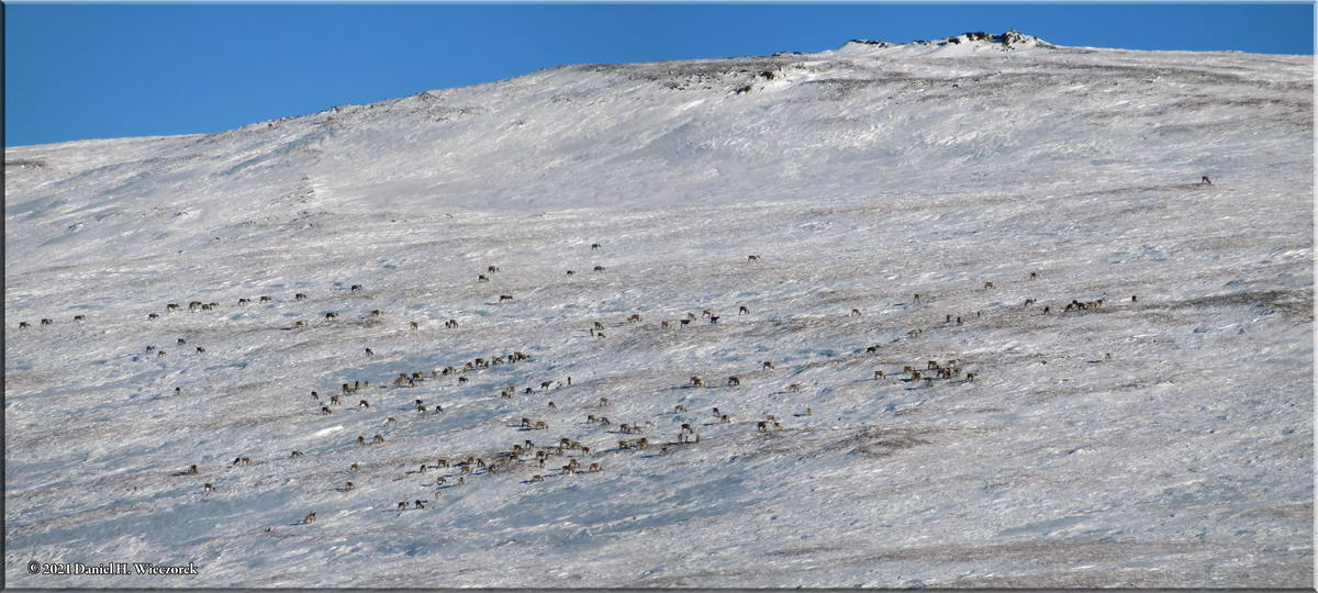 Animals On The Mountain - A Herd of Caribou