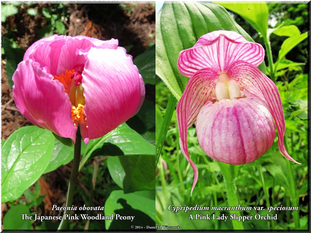 Pink Flower Prize for June - A Rare Japanese Pink Woodland Peony and a Rare Lady Slipper Orchid