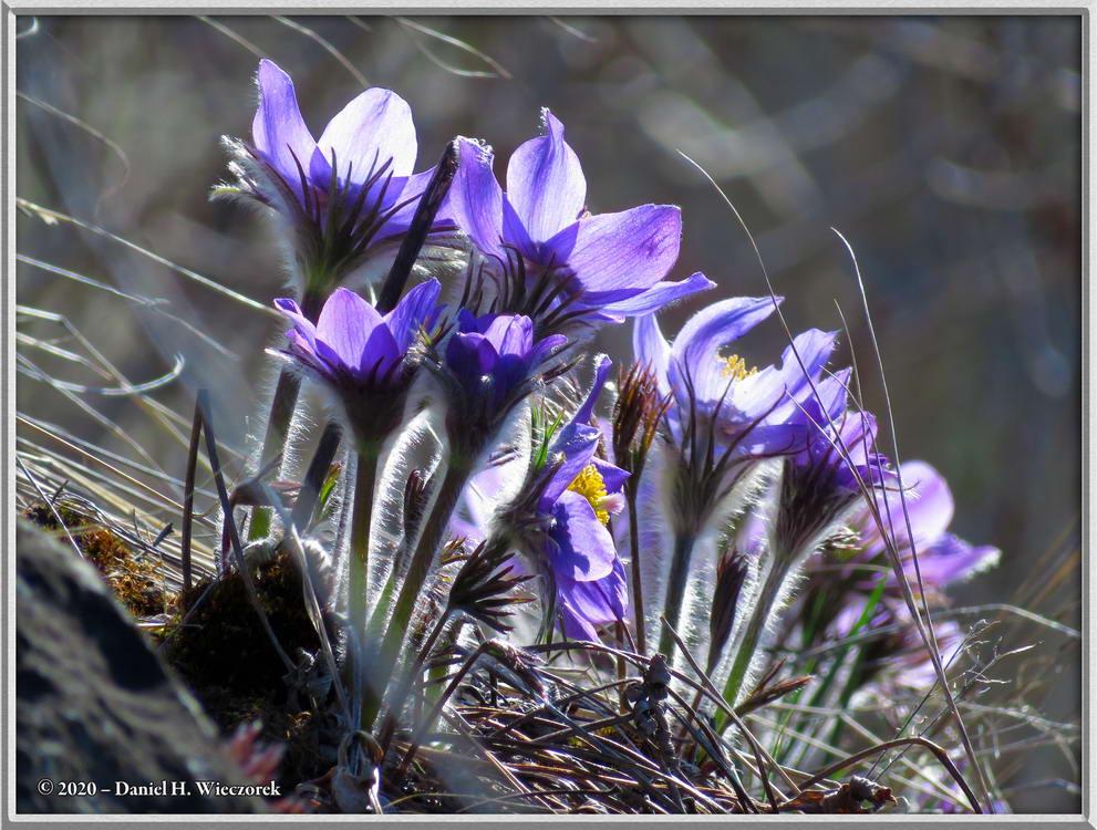 Pasque Flowers - Pulsatilla patens