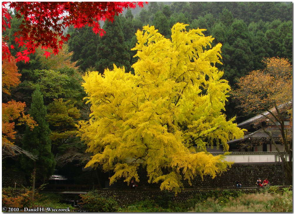 The Famous Mitake - Tama River Ginkgo - November 5th and 14th