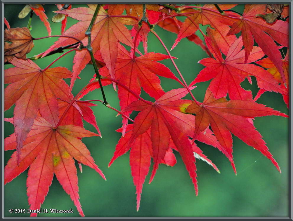 Red Maple Leaves - Close-up