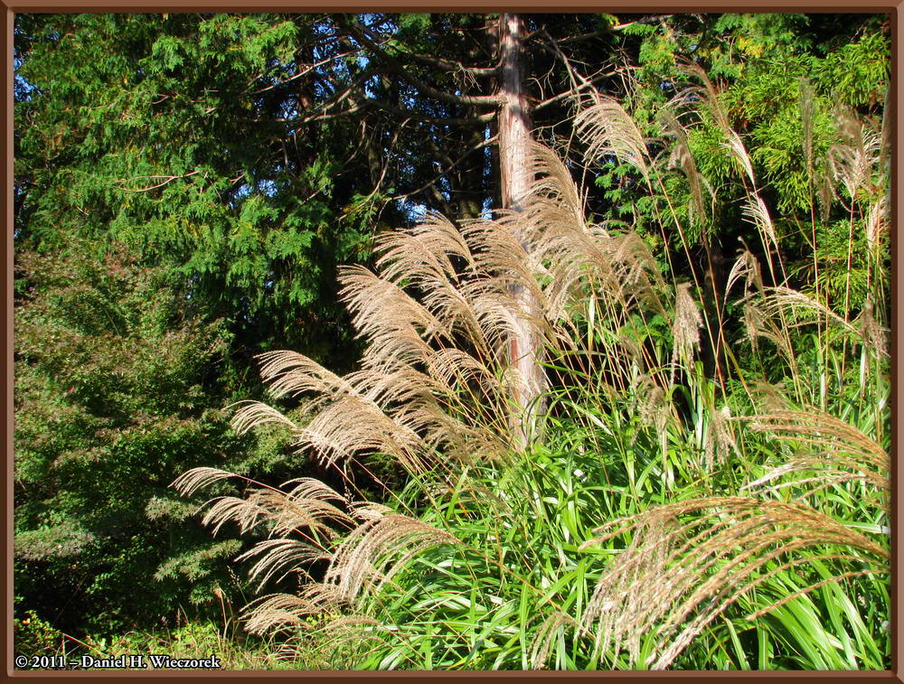 Susuki Grass (Miscanthus sinensis) near the summit of Mt. Takao