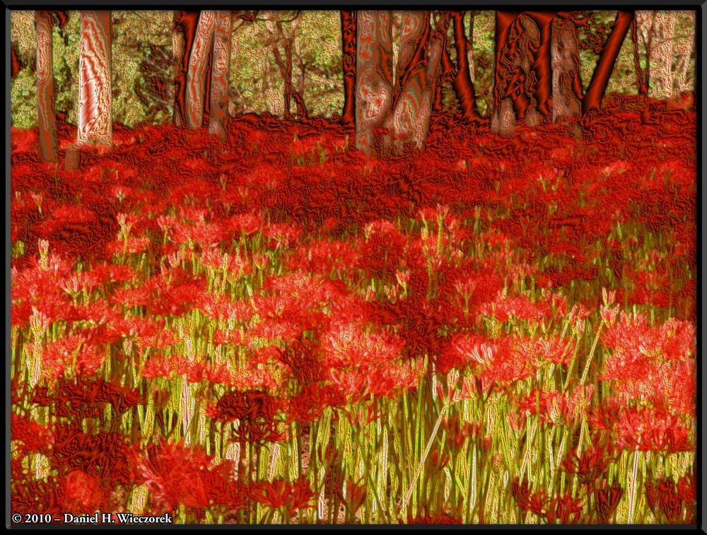 Lycoris radiata (Cluster Amaryllis) at Kinchakuda