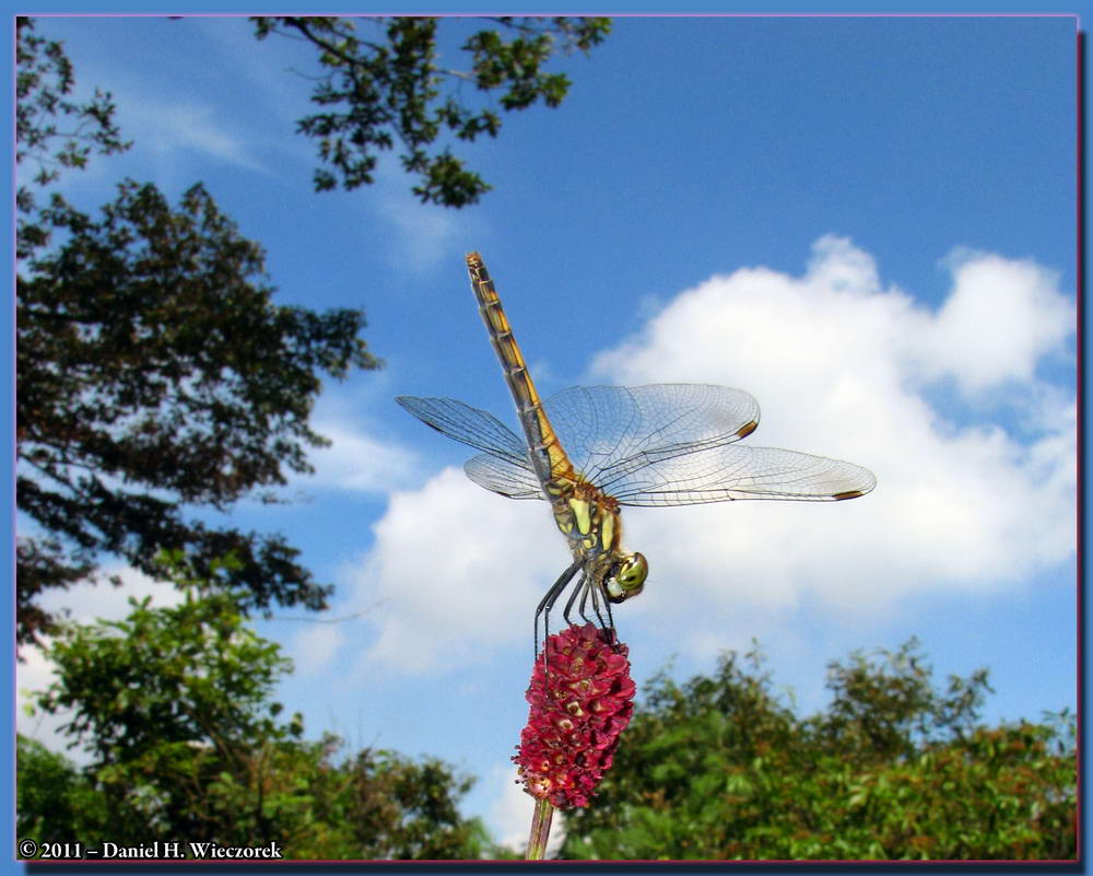 A Dragonfly sits atop a Sanguisorba officinalis flower
