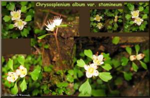 TakaoSan5_Chrysosplenium_album_var_stamineum_Postcard.jpg