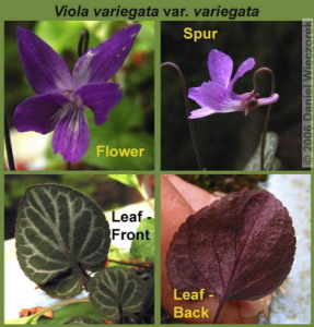 Apr29_Okutama_Viola_variegata_var_variegata_Collage_SmRC.jpg