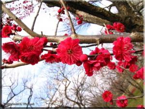Feb06BubaigawaraPlum59RC.jpg