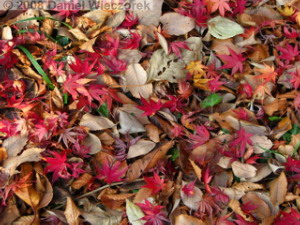 Dec15_NogawaParkFallColors07_Ground_SaturationRC.jpg