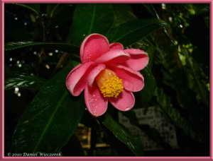 Dec19_080FR_JindaiBG_Camellia_amplexicaulis_Pitard_Cohen_StuartRC