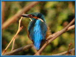 Dec19_101FR_Nogawa_Kingfisher_Kingfisher_Alcedo_atthisRC