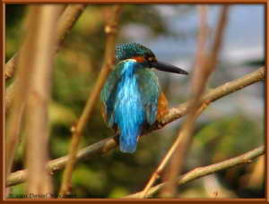 Dec19_108FR_Nogawa_Kingfisher_Kingfisher_Alcedo_atthisRC