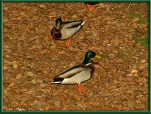 Dec19_130FR_Nogawa_DucksRC