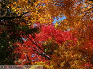 Dec4_020_KoishikawaGar_FallColors_MapleRC