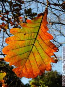 Dec4_051_KoishikawaGar_FallColors_Quercus_dentataRC