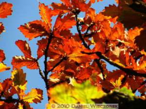 Dec4_061_KoishikawaGar_FallColors_Quercus_dentataRC