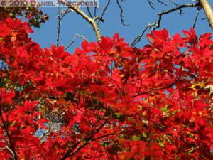 Dec4_088_KoishikawaGar_FallColors_Acer_nikoenseRC