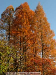 Dec4th_KoishikawaBG084_MetasequoiaGlyptostroboidesRC
