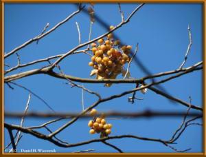 Dec08_03_JindaiBG_FallColors_Sapindus_mukorossiRC