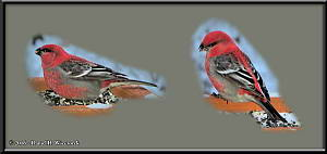 Dec2_02_04_SnowyYard_PineGrosbeak_2RC