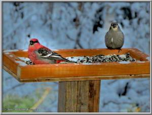 Dec2_03SIP_SnowyYard_PineGrosbeakRC
