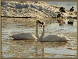 Apr17_33_CreamersField_TrumpeterSwansRC