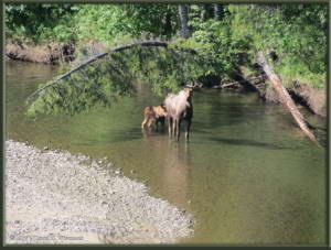 June19_005_Moose_Calf_ChatanikaRiverRC