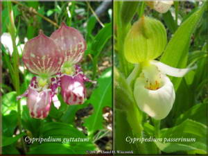 June20_17_NearCentral_Cypripedium_passerinum_June26_46_C_guttatumR
