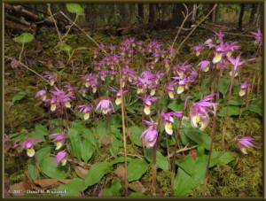May23_29_Calypso_bulbosa_var_americanaRC