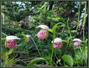 July3rd_023_GrapefruitRocks_CypripediumGuttatumRC