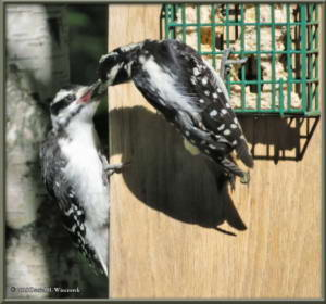 June28_7_Woodpecker_Young_SuetFeeder_IndexRC