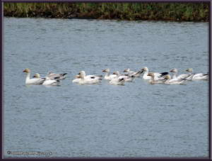 May24_01_AnchorageToFairbanks_Snowgeese_NenanaRC