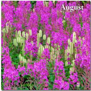July16_064CropVibrance_DenaliHighway_FireweedRC