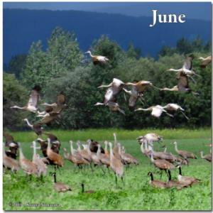 June19th_070Crop_CreamersField_SandhillCraneRC