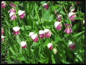 June9_75_UpperGrapefruit_CypripediumGuttatum_IndexRC