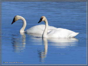 Apr27_21_CreamersField_TrumpeterSwans_IndexRC