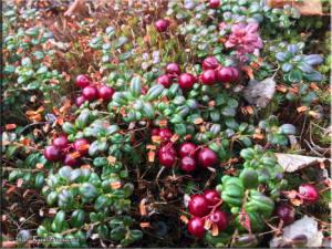 Sep17th_03_LingonberryHarvestRC