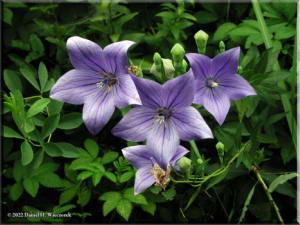 JindaijiChineseBellflower04RC