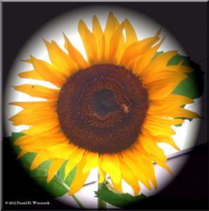 MitakaSunflower01aRC
