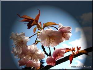 TakaoScienceGarden27b_CherryRC