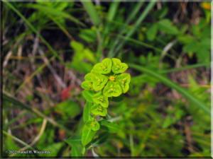 Euphorbia_sieboldiana04RC.jpg