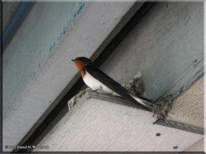 TakaoSwallow_Nest03RC.jpg