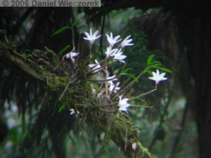Jun04Dendrobium_moniliforme06RC.jpg