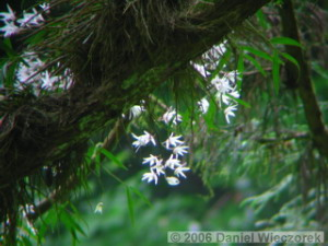 Jun04Dendrobium_moniliforme09RC.jpg