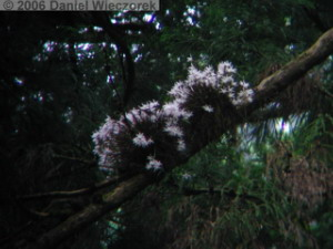 Jun04Dendrobium_moniliforme23RC.jpg