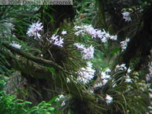Jun04Dendrobium_moniliforme36RC.jpg